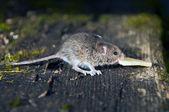 Mäuschen — Stockfoto