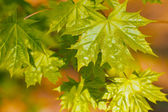 Young delicate leaves of maple in the spring season — Stock Photo