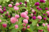 Pink clower flowers — Stock Photo