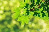 Green maple leaves — Foto de Stock