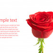 Stockfoto: Rose isolated