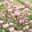 Magnolia flowers — Stock Photo #9428884