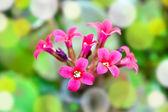 Background Kalanchoe flower — Stockfoto