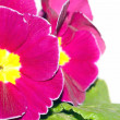 Primrose flower — Stock Photo