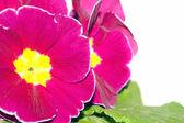 Primrose flower — Stock Photo