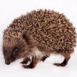 Stock Photo: Cute little hedgehog.