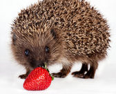 Hedgehog near berry strawberry — Stock Photo