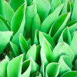 Spring leaves of young tulips — Stock Photo #9672446