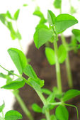 Green shoots of peas — Stock Photo