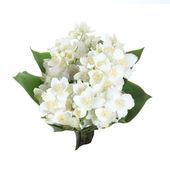Fresh jasmine. Summer flower — Stock Photo