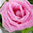 Beautiful rose background with water drops — Stok fotoğraf