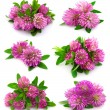 Stock Photo: Red clover flower