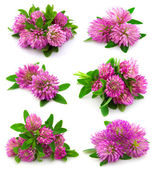 Red clover flower — Stockfoto