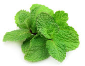 Branches of fragrant mint — Stock Photo
