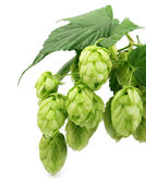 Blossoming hop with leaves — Stockfoto
