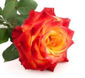 Rose met bladeren — Stockfoto