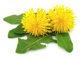 Dandelion flowers with leaves — Stock fotografie