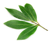 Fresh and green bay leaf — Stock Photo