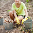Woman  harvesting potatoes - Stock Photo