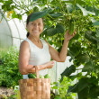 Woman with harvesting cucumbers — Stock Photo