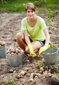Woman harvesting potatoes — Stock Photo