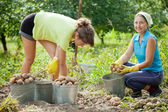Women harvesting potatoes — Stock Photo