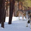 Stock Photo: Wolves in winter forest