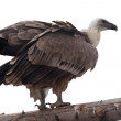 Griffon vulture. Isolated over white — Stock Photo #10530776