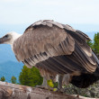 Griffon vulture in wildness area — Stock Photo #10530777