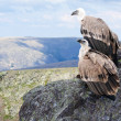 Griffon vulture in wildness — Stock Photo #10530784