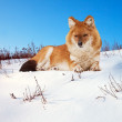 Royalty-Free Stock Photo: Dhole on snow