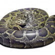 Python molurus on white - Stock Photo
