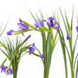 Iris flowers border. Isolated on white — Stock Photo