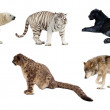 Set of Carnivora mammal. Isolated over white — Stock Photo