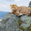 Leopard  at wildness area - Stock Photo