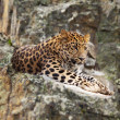 Jaguar on rock - Stock Photo