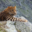 Leopard on rock - Foto Stock