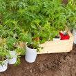 Seedlings tomato - Stock fotografie