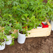 Seedlings tomato - Foto Stock