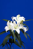 Lily on blue background — Stock Photo
