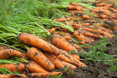 Harvest of carrots — Stock Photo