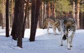 волки в зимнем лесу — Стоковое фото