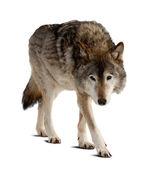 Wolf. geïsoleerd over wit — Stockfoto