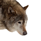 Head of wolf — Stock Photo