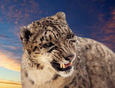 Snow leopard against sunset sky — Stock Photo