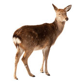 Female of Deer over white — Stock Photo