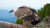 Griffon vulture in wildness area — Stock Photo