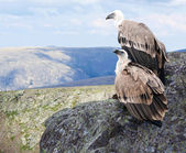 Griffon vulture in wildness — Stock Photo
