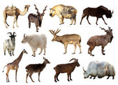 Set of Artiodactyla animals — Stock Photo