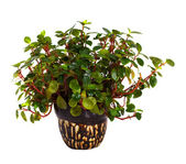 Peperomia in pot. Isolated on white — Stock Photo